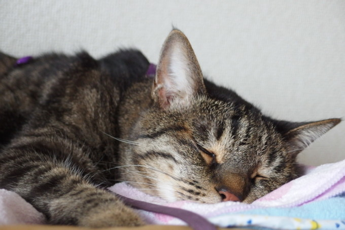 すやすや眠る猫