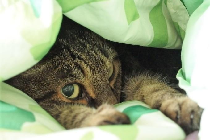 お布団にもぐっている猫