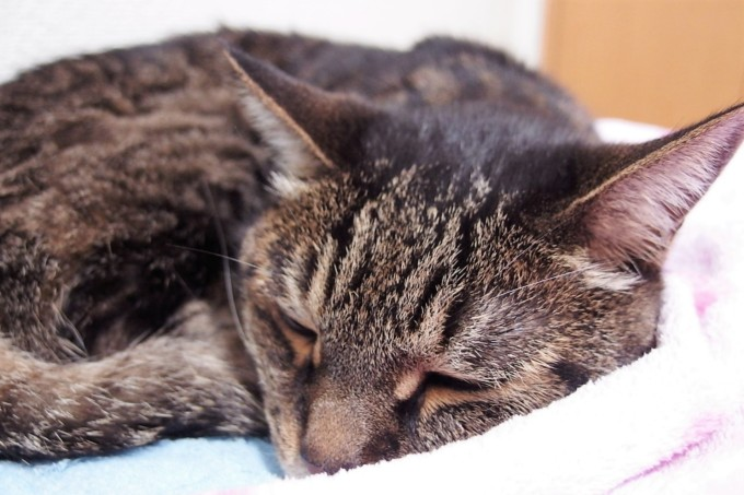 うとうと眠る猫