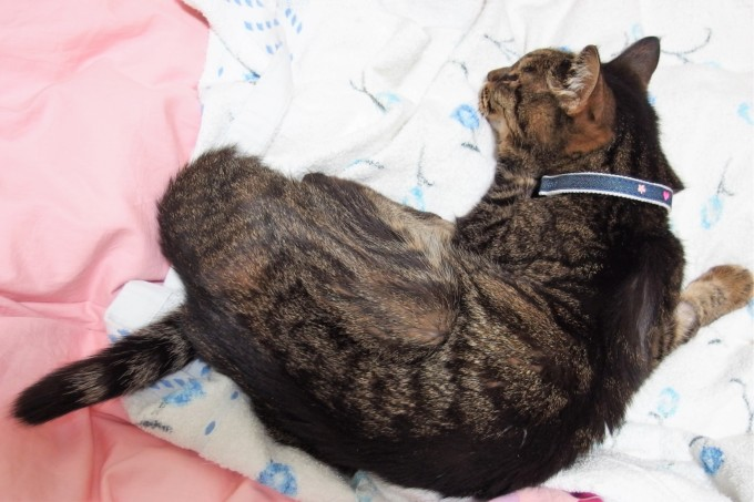 しんどそうに寝ているティアラ